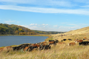 cattle_hutchinsonvalley_sc